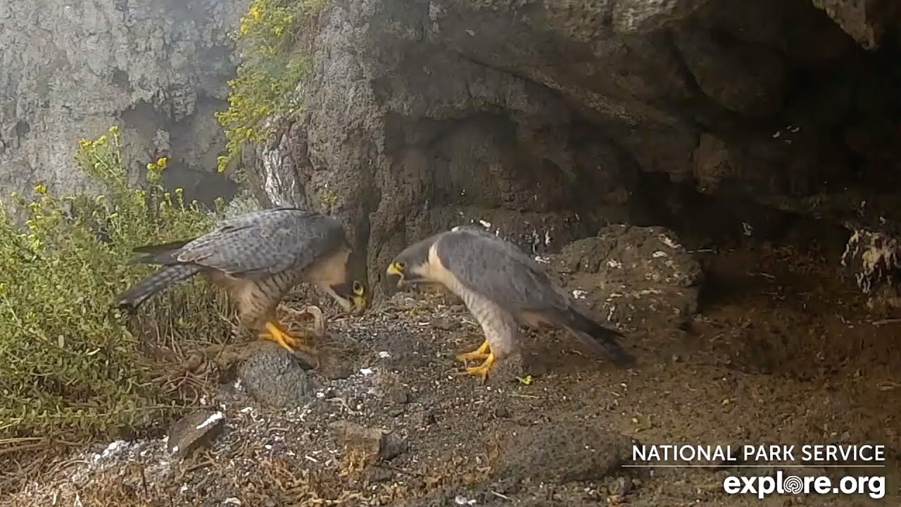 Anacapa Peregrines🐦 HopperJet & Lena Pay A Chirpy Visit 😊 Courtship 2020-09-15