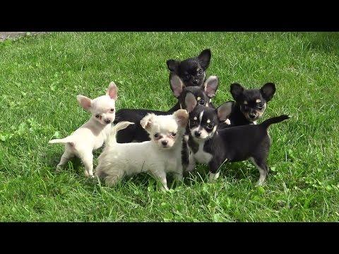 Chihuahua Lang- und Kurzhaar www.welpenvermittlung-hunde.at
