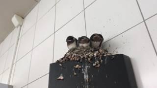 愛知県刈谷市サービスエリア内のトイレでつばめの巣発見!