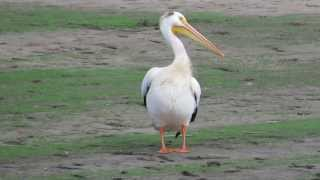 American White Pelican at St. Paul