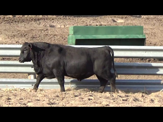 Connealy Angus Lot 215