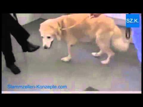 Hund mit Hüftdysplasie HD