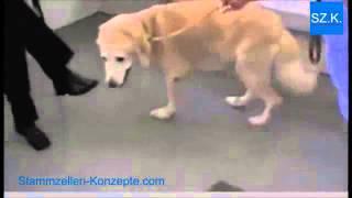 3 Beispiele: Stammzellen-Therapie u.a. bei Hunde-Arthrose, HD Hüftdysplasie, ED Ellbogendysplasie