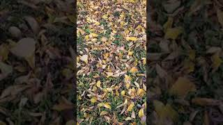 Witchhazel Fall Color #shorts