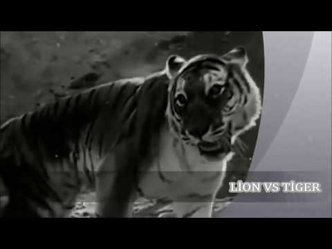 Tarihe geçmiş inanılmaz Aslan Kaplan kavgası Lion vs Tiger