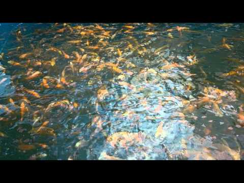 Small local koi for sale youtube for Small koi for sale