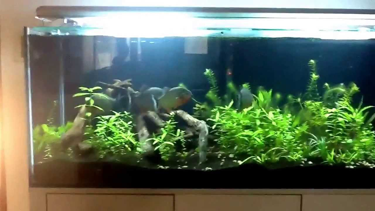 Planted Piranha Aquarium Pros And Cons Youtube