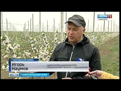 Где в России любят ставропольские яблоки