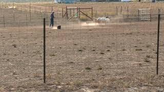 "High Plains Herding Trial/ started sheep ""Mac"""