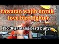 Rawatan Wajib Untuk Love Bird Fighter  Mp3 - Mp4 Download