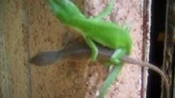 Gay Lizards