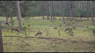 Preview of stream Live wildcam Het Nationale Park De Hoge Veluwe