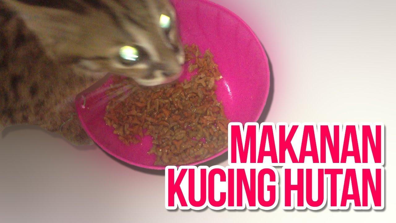 Makanan Untuk Kucing Hutan Catmojo Youtube