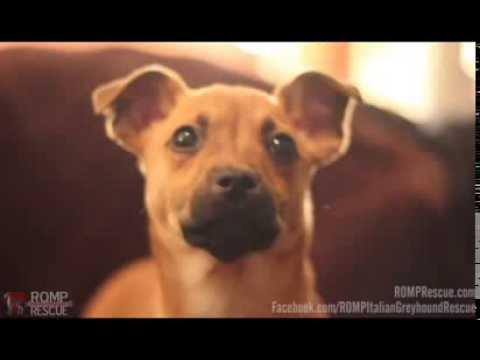 Dover - Terrier Mix Puppy - Chicago - ROMP Italian Greyhound Rescue