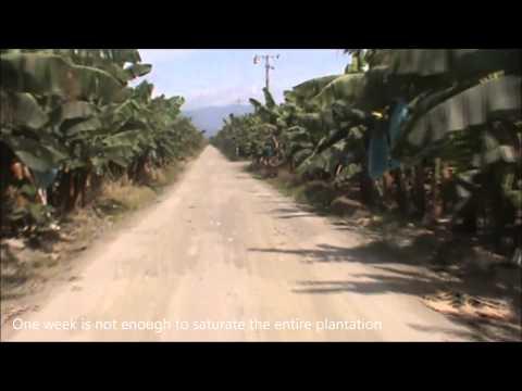 Cavendish Banana Plantation and Export Operations