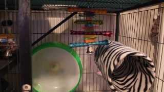 Chinchilla cage tour and organization
