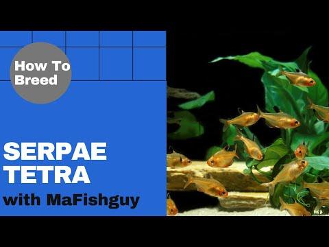 How To Breed Serpae Tetras-MAFishGuy