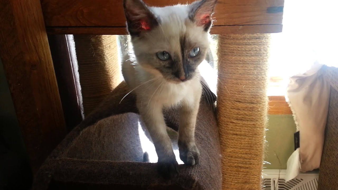 Introducing Bird, the tortie point Siamese kitten - YouTube