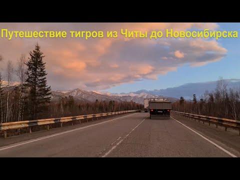 Путешествие Тигров из Читы в Новосибирск / Travel of Tigers from Chita to Novosibirsk