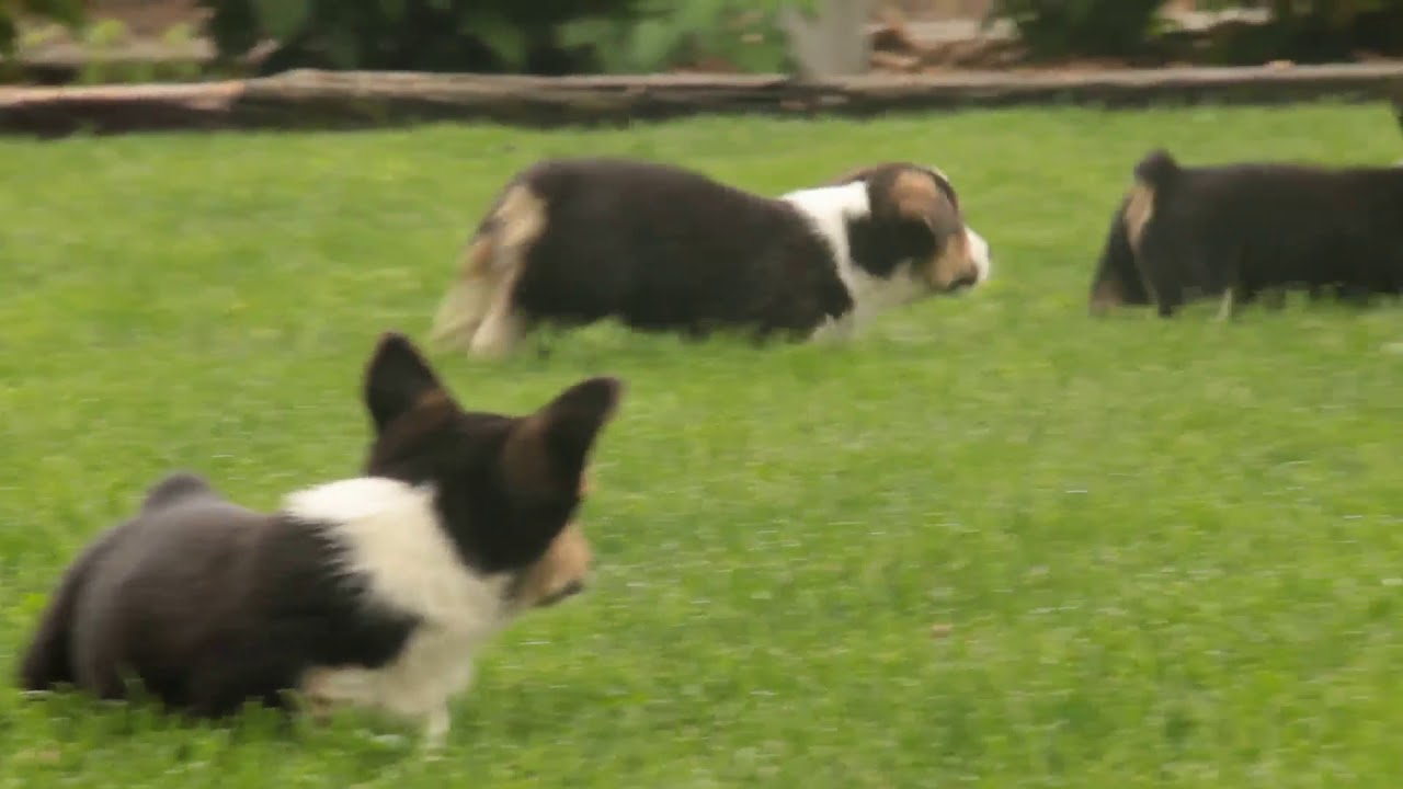 Welsh Corgi Puppies For Sale Youtube