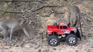 How to have fun with monkeys - The little monkeys love playing RC truck