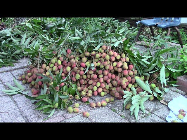 Trai Cay o My - VAI - giai nha trong sau khi thu hoach | Trái Cây Ở Mỹ | Quanh nhà ở Mỹ MVI_4188