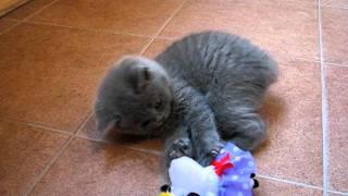 Британский котенок играет с игрушками
