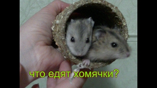 Что едят хомячки? Листья салата.