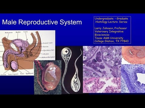 25. Male Reproduction Lecture
