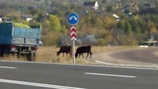 Pericol bovin pe drum nou, aglomerat, la #Orhei