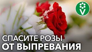 Теплая зима - КАТАСТРОФА ДЛЯ РОЗ под укрытием! Спасите розы этим простым способом