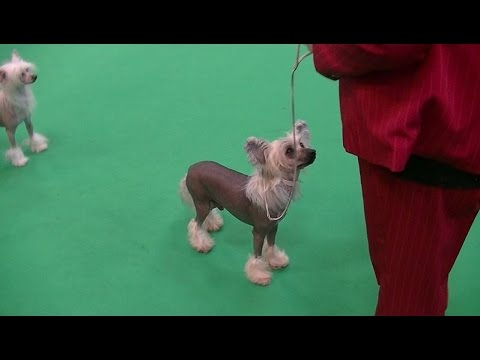 Chinese Crested Dog in Crufts 2017