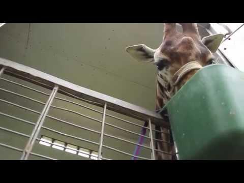 Wie werden Giraffen im Zirkus transportiert?