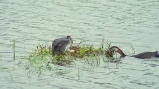 アカエリカイツブリ(1)営巣(サロベツ原生花園) - Red-necked grebe - Wild Bird - 野鳥 動画図鑑