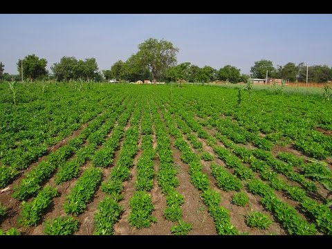 Peanuts Farming (मूंगफली की खेती ) In Baatein Kheti Ki - On Green TV