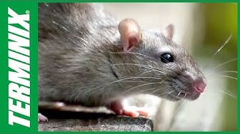 Protect Business From Pests - Rodent Control - Terminix