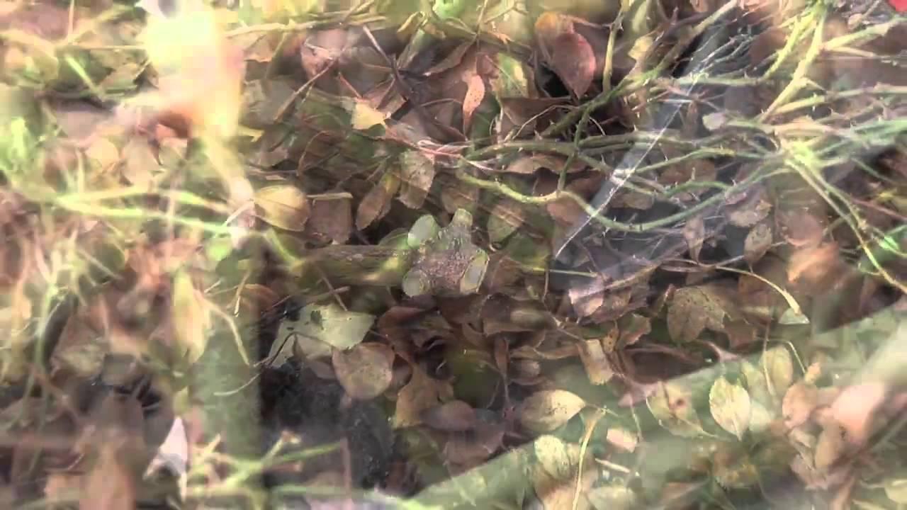 boden- und flächendeckende rosen schneiden - youtube