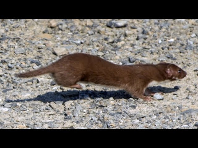 Zealandia's fence scaled by a wiley weasel