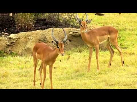 Impala and Thompson's Gazelle in Africa - Cincinnati Zoo