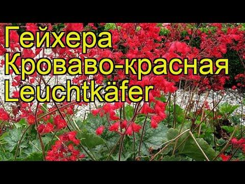 Гейхера кроваво-красная Лехткафер. Краткий обзор, описание heuchera sanguinea Leuchtkäfer