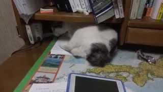 机で作業を妨害するボブテイル猫 Japanese Bobtail cat disturbs my studies