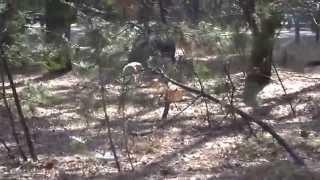 有害鳥獣追い払い犬の訓練風景.