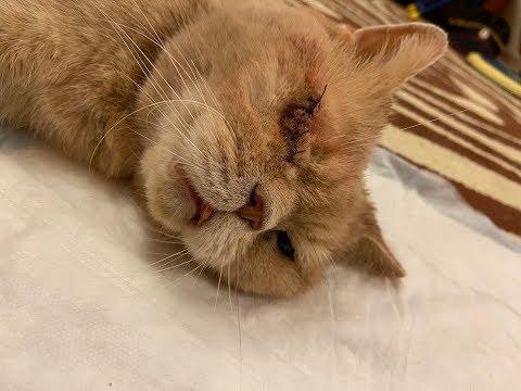 Моему коту удалили глаз/Операция