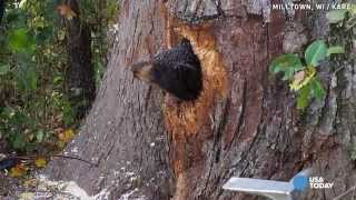 Bear cubs get stuck in tree trunk