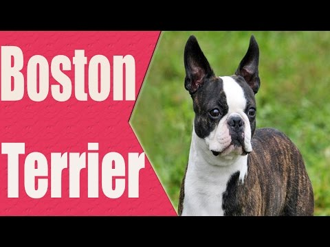 BOSTON TERRIER História e Curiosidades