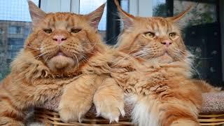 Огромные коты мейн кун Джокер и Вавилон.