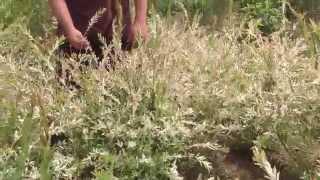 Ива цельнолистная Хакуро-Нишики.(Добрый день! Мы занимаемся выращиванием и продажей растений для ландшафтного дизайна. В ассортименте собст..., 2014-07-02T13:04:51.000Z)