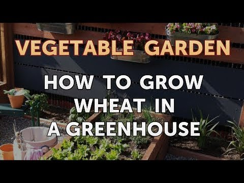 36+Can You Grow Wheat In A Greenhouse