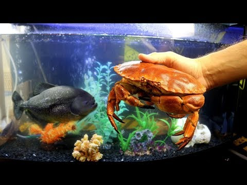 WHAT WILL BE IF TO HUGE PIRANHAS TO THROW THE BIG CRAB WEIGHING 1KG! OYSTER, SHRIMPS AND MUSSELS
