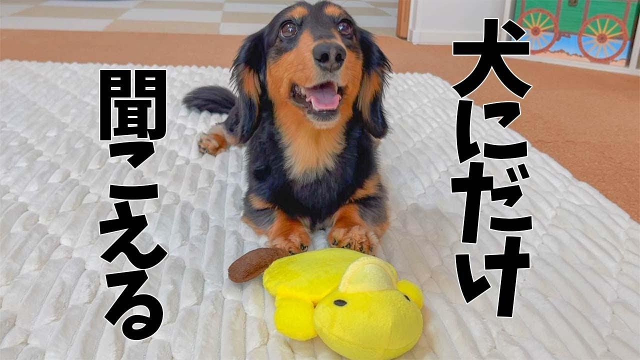 犬にしか聞こえない音を出すオモチャで遊んだ結果・・・【ダックスフンド】